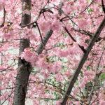 日本橋室町の桜
